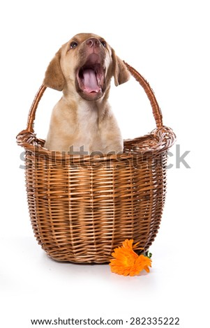 Retriever puppy in a basket looks up and barks (isolated on white) - stock photo