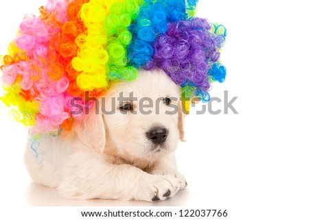 Retriever puppy in colored wig - stock photo