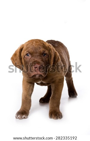 Retriever puppy sitting and looking at the camera (isolated on white)