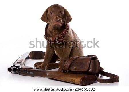 Retriever puppy sitting and looking at the camera (isolated on white) - stock photo