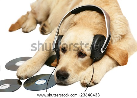 Retriever with ear-phones.