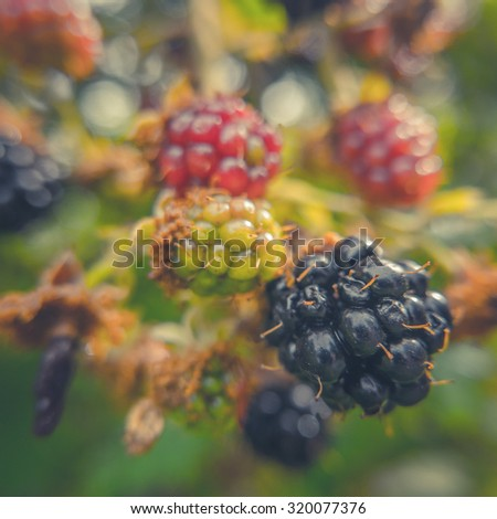 Retro Filtered Image Of Ripe Wild Blackberries (With Shallow DoF) - stock photo