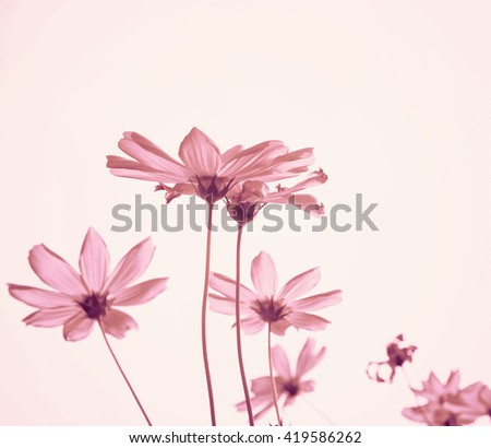 Retro Pink cosmos flowers with sky .