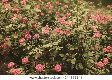 Retro roses in garden - stock photo