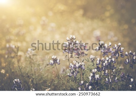 Retro Texas Blue Bonnet Flower with Sunlight - stock photo