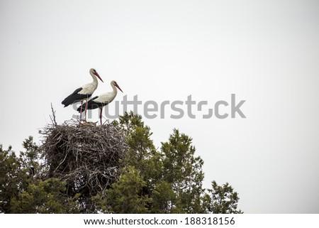 returning to nest Storks - stock photo