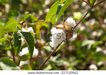 Reveal the cotton boll among green leaves - stock photo