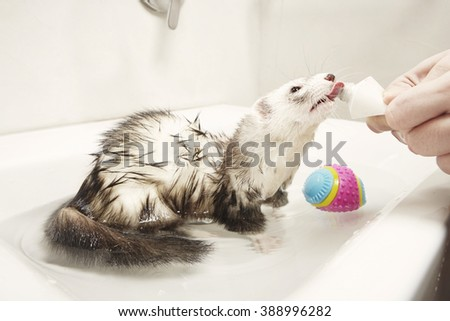 Rewarding ferret when bathing - stock photo