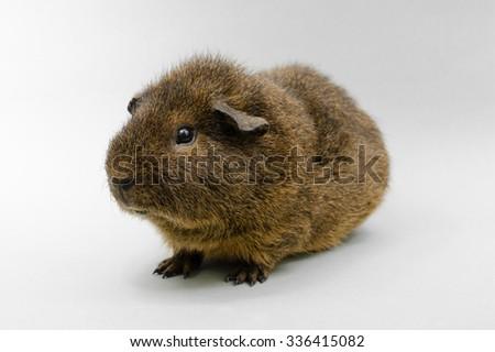 rex guinea pig portrait (sideways) - stock photo