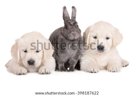 rex rabbit with two golden retriever puppies - stock photo