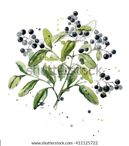 Rhamnus (genus). Watercolor Rhamnus isolated on a white background. Bright dark berries with green leaves isolated on white background. Hand-drawn Rhamnus with watercolor splashes. Botany. - stock photo
