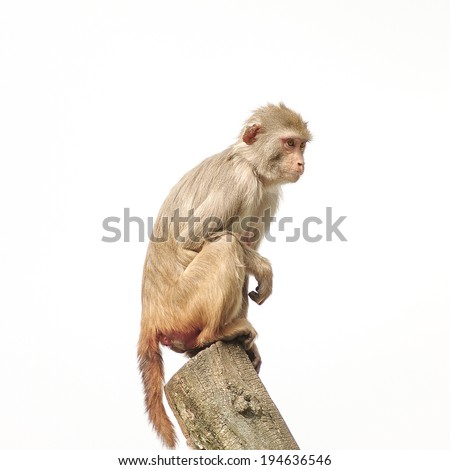 Rhesus macaque in close-up during natural behavior isolated, 2014 - stock photo