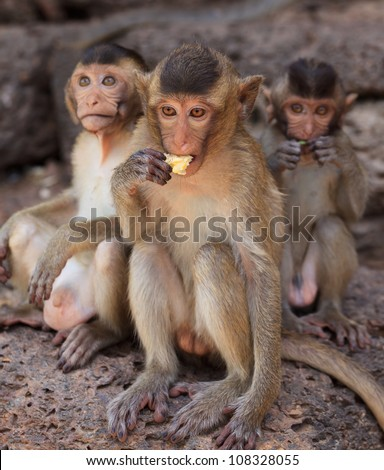 Rhesus macaque monkeys in historic site, Thailand