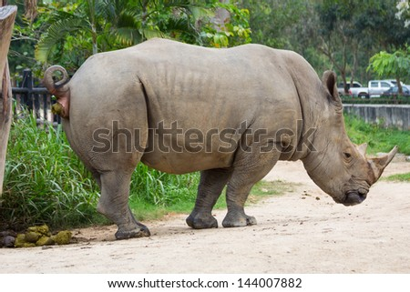 Rhino and excrement - stock photo
