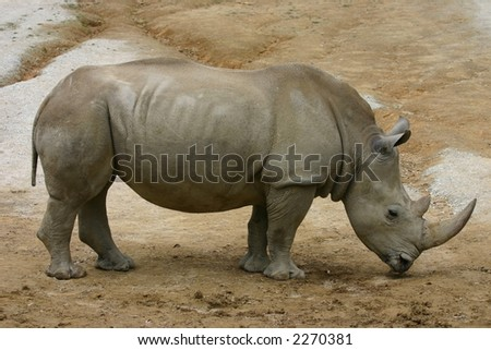 rhino at the zoo