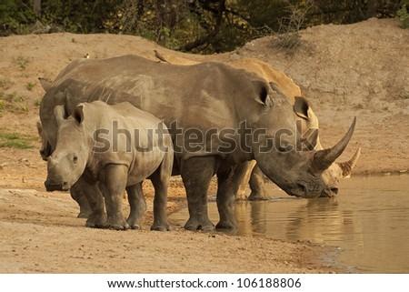 Rhino drinking at waterhole. - stock photo
