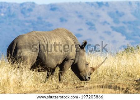 Rhino Grass Habitat Wildlife Wildlife rhino animal in habitat wilderness reserve over the rugged terrain. - stock photo