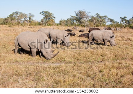 Rhino herd standing on grass plain protecting each other - stock photo