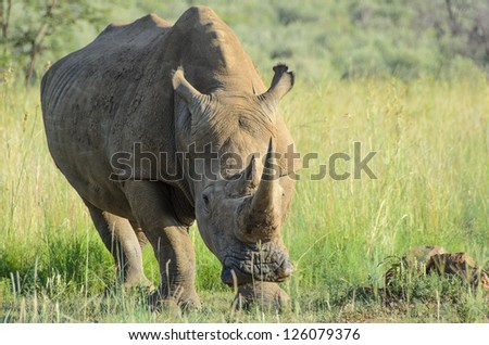 Rhino in a game reserve roaming free. Reserve and position not given due Rhinos being poached for their horns - stock photo
