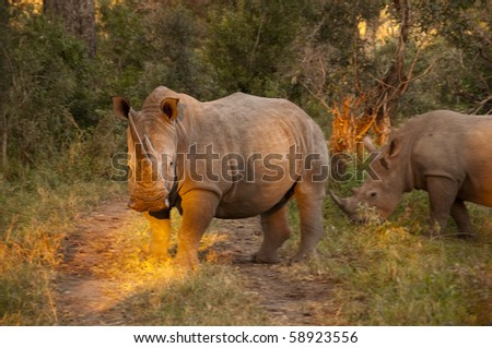 rhino in sabi sands game reserve, south africa - stock photo