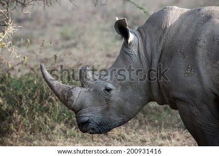Rhino  in the savannah of Africa