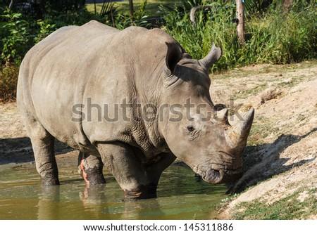 Rhino in water - stock photo