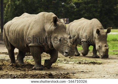 Rhino walking in nature. - stock photo