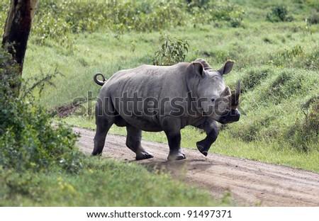 Rhinoceros at Lake Nakuru National Park - Kenya - stock photo
