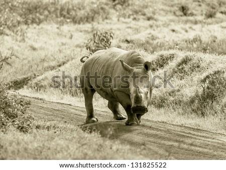 Rhinoceros at Lake Nakuru National Park - Kenya, East Africa (stylized retro) - stock photo