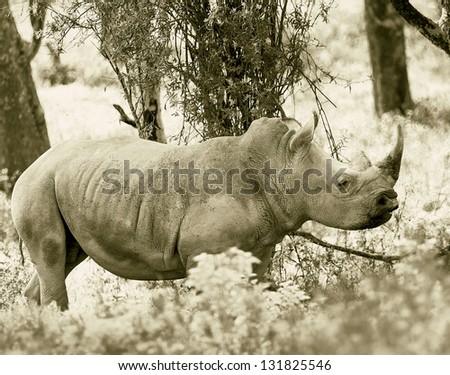 Rhinoceros at Lake Nakuru National Park - Kenya, Eastern Africa (stylized retro) - stock photo