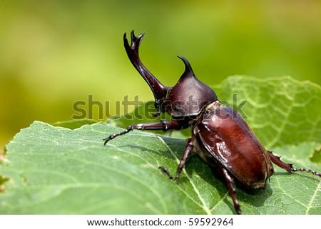 Rhinoceros beetle (Allomyrina dithotomus) with nice background green - stock photo