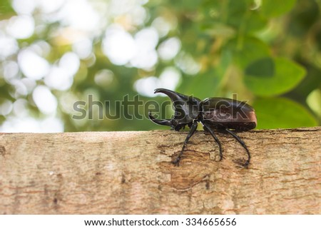 Rhinoceros beetle in the seasonal nature of Thailand.