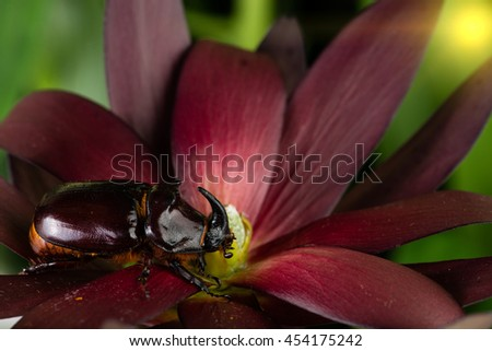 Rhinoceros beetle on a flower - stock photo