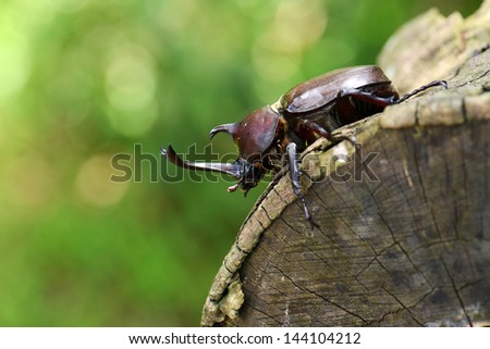 Rhinoceros beetle on a wood
