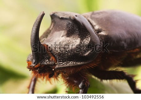 rhinoceros beetle on red leaves
