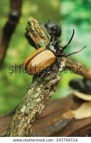 Rhinoceros Beetle on wood in the forest - stock photo