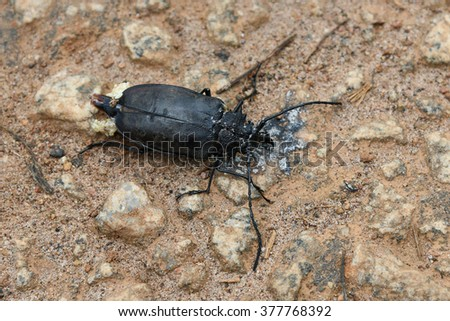 Rhinoceros beetle, Rhino beetle, Hercules beetle, Unicorn beetle, Horn beetle India. Dorcus antaeus. The common name is Antaeus giant stag beetle. This species is located at the southern Asia - stock photo