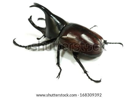 Rhinoceros beetle, Rhino beetle, Hercules beetle, Unicorn beetle, Horn beetle isolated - stock photo