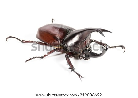 Rhinoceros beetle, Rhino beetle, Hercules beetle, Unicorn beetle, Horn beetle isolated - stock photo