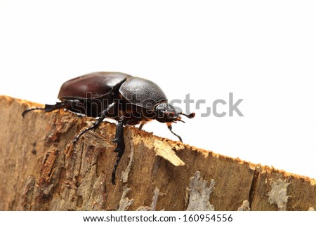 Rhinoceros beetle the female ( Rhino beetle, Hercules beetle, Unicorn beetle, Horn beetle) unicorn beetle sex female on trunk of tree (Rhinoceros beetle,Rhino beetle, Hercules beetle, Horn beetle)  - stock photo