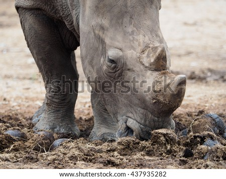 Rhinoceros feeding