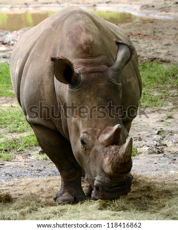 Rhinoceros grazing in the wild natural environment - stock photo