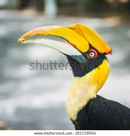 Rhinoceros Hornbill perched on a branch and eat the seeds. - stock photo