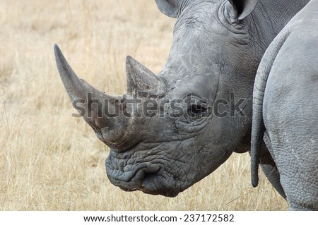 Rhinoceros in South Africa - stock photo