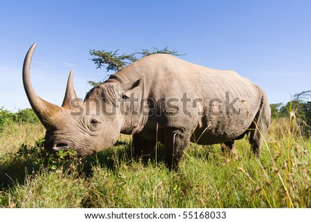 Rhinoceros in the South Africa savannah - stock photo