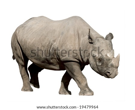 Rhinoceros isolated on white