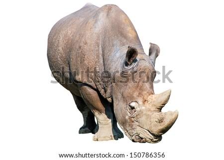 Rhinoceros isolated over white - stock photo