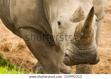 Rhinoceros looking at you  - stock photo