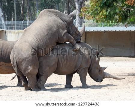 rhinoceros mating - stock photo