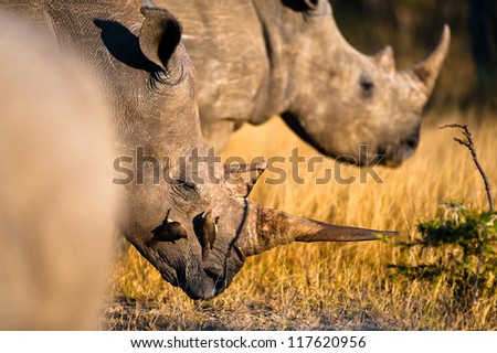 Rhinoceros near Kruger National Park, Hoedspruit, South Africa - stock photo
